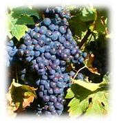 гроздобер, ивайловград, 2009, грозде