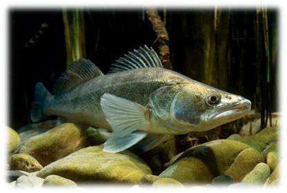 бяла риба, зарибяване, язовир ивайловград, тракиец, иара