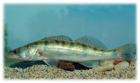 бяла риба, язовир Ивайловград