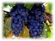 гроздобера в ивайловград, грозде, лозя, 2010, гроздобер