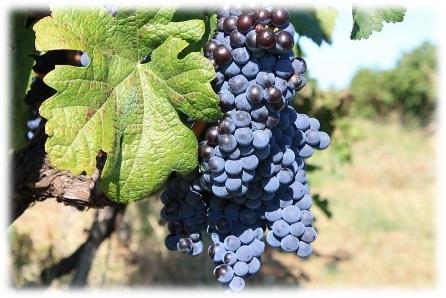 празник на ивайловград, конкурс, най-добро вино, вино ивайловград