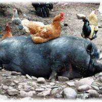 животни в Ивайловград, кокошки, прасета, в ивайловград