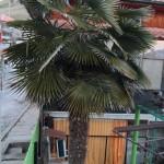 Трахикарпус в Ивайловград